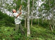 Người tiên phong làm kinh tế rừng ở Mường Lát