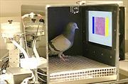 Chim bồ câu phát hiện ung thư vú chính xác 99%