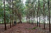 Băn khoăn với cây cao su Tây Bắc - Bài 3