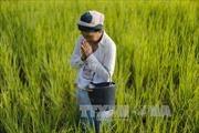 Thái Lan giảm sản lượng lúa gạo niên vụ 2016-2017