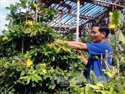 Mất mùa, hoa mai Tết tăng giá gấp 3 - 4 lần