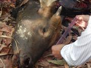 Bắt đối tượng bắn chết, xẻ thịt bò tót trong khu bảo tồn Đồng Nai