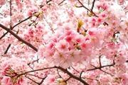 Hơn 10.000 cành hoa anh đào trưng bày tại vườn hoa Lý Thái Tổ