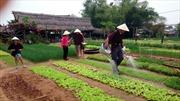 """Du lịch """"homestay"""" ở làng rau Trà Quế"""