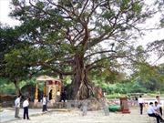 Công nhận cây đa Đá Bạc tại Thừa Thiên-Huế là cây di sản