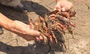 Kiên Giang: Hơn 9.800 ha tôm nuôi bị thiệt hại do hạn mặn