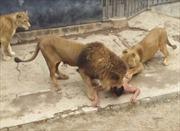 Sư tử ngoạm du khách khỏa thân liều chết