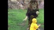 Sư tử hung hãn vồ bé trai