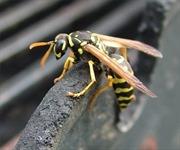 Đi hái rau, bị ong vò vẽ đốt hơn 100 vết