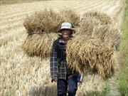 Đổi mới công nghệ sản xuất lúa gạo