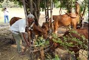 Nông dân Khmer nuôi bò bằng phế phẩm