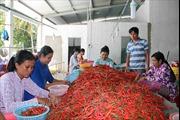Thu nhập cao từ trồng ớt chỉ thiên