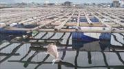 Nguyên nhân cá chết ở vịnh Bái Tử Long là do thời tiết