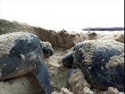 Bảo tồn rùa biển tại Côn Đảo