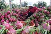 Australia đánh giá về việc nhập khẩu quả thanh long Việt Nam