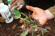 Ngành chức năng Đắk Lắk vào cuộc vụ hồ tiêu rụng quả