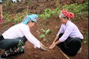 Phát triển cây quế theo hướng sản xuất hàng hóa