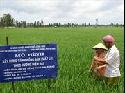 Khó khăn tiêu thụ lúa gạo
