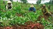 Nông dân trồng khoai lang điêu đứng vì bệnh chết dây