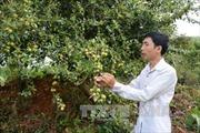 Cây sơn tra giúp xóa nghèo ở vùng cao Yên Bái