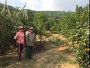 Lục Ngạn - xứ sở mới của cây đặc sản có múi