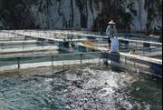 Phát triển nghề nuôi cá lồng trên vùng tái định cư