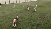 """Dắt đàn chó đi chơi bằng cách """"đua ô tô"""""""