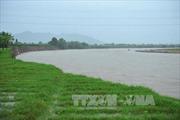 Cấp phát 400 tấn lúa giống cho người dân Ninh Thuận sau mưa lũ