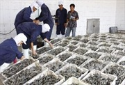Australia cấm nhập tôm xanh và tôm nguyên liệu từ Việt Nam