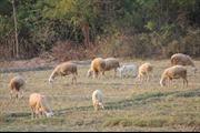Ngăn chặn tái phát bệnh lở mồm long móng ở gia súc