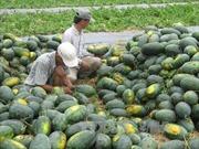 Nông dân Bình Thuận phấn khởi vụ dưa hấu Tết