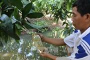 Xoài bao trái có giá bán cao hơn từ 5.000 - 10.000 đồng/kg
