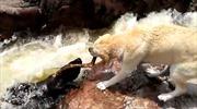 Ngạc nhiên xem chú chó cứu bạn bị nước cuốn