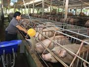Giá lợn hơi vượt mức 60.000 đồng/kg, người chăn nuôi vẫn chưa dám tái đàn