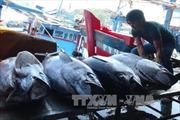 Cá ngừ Việt Nam mất lợi thế cạnh tranh ở thị trường Nhật vì bị áp thuế cao