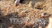 Người dân trồng nấm rơm loay hoay tìm nguồn giống chất lượng