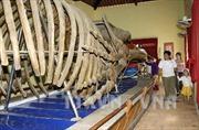 Khôi phục bộ xương cá voi ở huyện đảo Lý Sơn, Quảng Ngãi