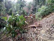 Người dân ngang nhiên chặt phá rừng Quảng Trị