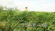 Trồng ớt chỉ thiên cho thu nhập 350 triệu đồng/ha