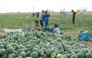 Giá dưa thấp kỷ lục, người trồng dưa Quảng Ngãi điêu đứng