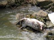 Xác lợn chết hôi thối trôi lềnh bềnh trên sông Phó Đáy, Vĩnh Phúc