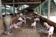 Tiêu hủy lợn nhiễm dịch tả châu Phi tại trang trại lớn ở Đồng Nai