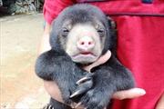 Nuôi gấu lấy mật có bảo vệ được gấu hoang dã ở Việt Nam?