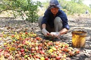 Các tỉnh Tây Nguyên mất mùa điều vì chuyển đổi cây trồng