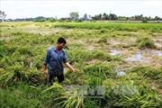 Nông dân Tây Ninh bị thiệt hại hàng chục tỷ đồng do mưa trái mùa