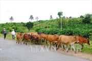 Tây Nguyên chăn nuôi đại gia súc theo hướng sản xuất hàng hóa