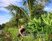 Trồng xen cây dưới tán dừa cho hiệu quả kinh tế cao