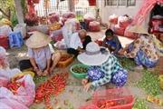 Giá ớt rớt thảm, người trồng tính bỏ vườn
