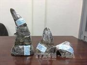 Thu giữ gần 5 kg sừng tê giác châu Phi quý hiếm tại sân bay Tân Sơn Nhất