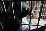 Video cảm động về cuộc đời tù ngục của chú gấu bị nuôi để lấy mật